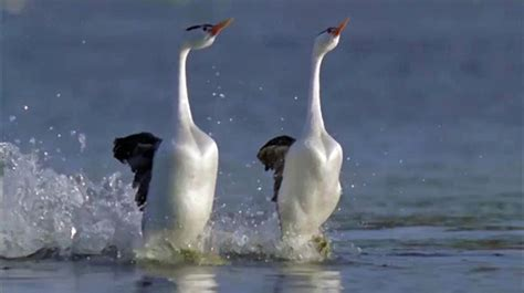 beautiful bird courtship dance video dawn productions