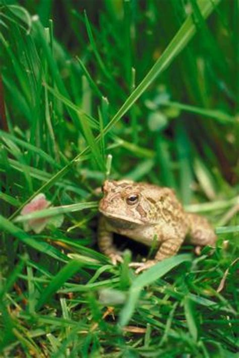 how to get rid of cane toads in backyard how to get rid of cane toads ehow
