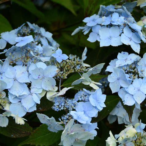 Flur Deckenle by Hortensia Blue Deckle Plantes Et Jardins