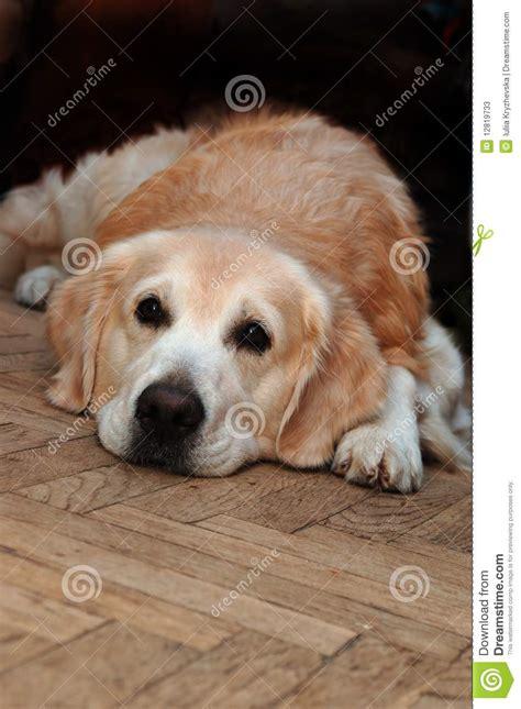 sad golden retriever sad golden retriever lying on the floor stock photos image 12819733