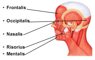 Mucles of the face at Butler University - StudyBlue Frontalis Muscle Origin Insertion Action