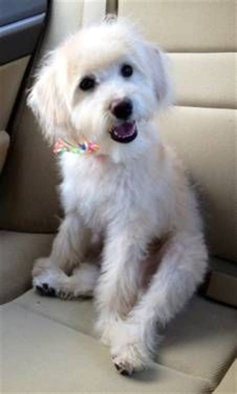schnoodle puppies ohio schnoodle hair cuts schnoodle haircuts my loving schnoodle aspen