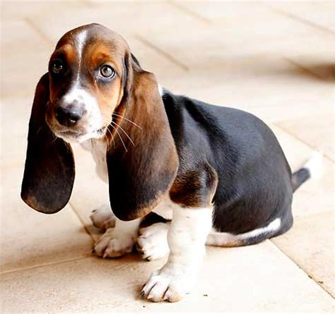 hound names basset hound breed pictures photos images