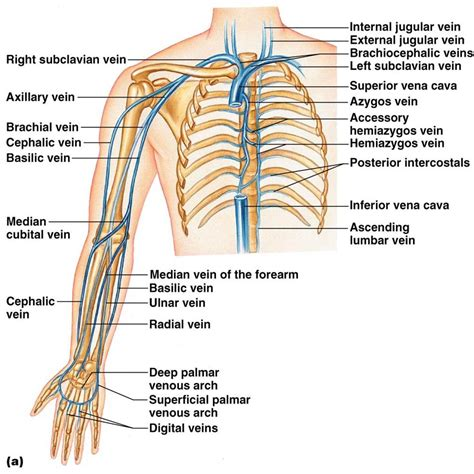 In Vein class bio 202 arteries and veins key