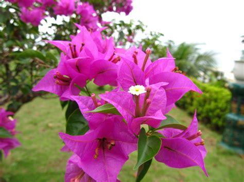 jenis tanaman hias bunga  indah  mudah perawatannya