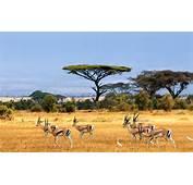 Savanna African Landscape Antelopes Safari Africa