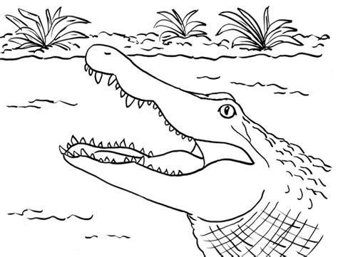 coloring sheet of alligator alligator coloring page samantha bell