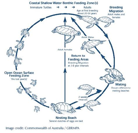 cycle of a turtle diagram sea turtle cycle diagram