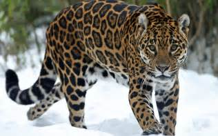 Photo Of Jaguar Jaguar Wallpapers Animal Johnywheels