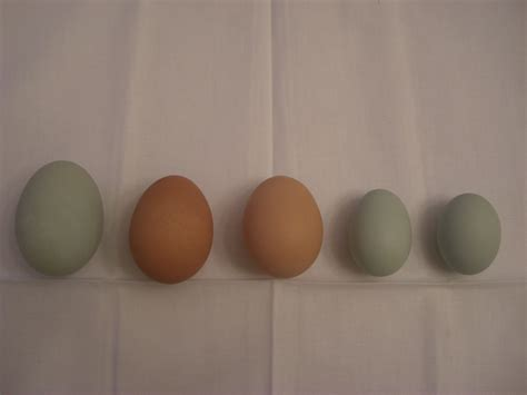 barred rock egg color i happen to be a soothsayer a prognosticator i can see
