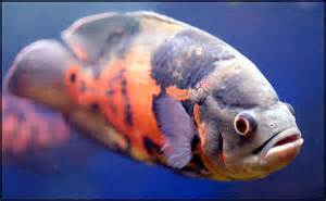Fish Information Blog: Basic Information about Oscar Fish