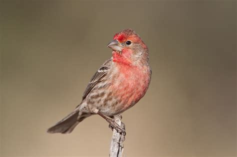 house finch bird house finch carpodacus mexicanus