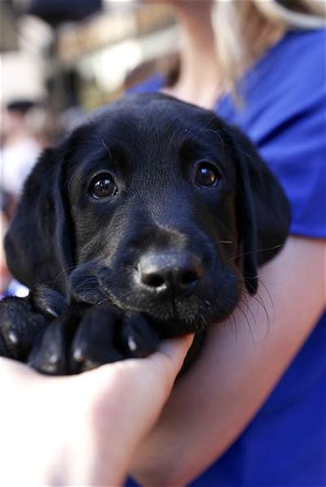 today show puppy today show partners with america s vetdogs to raise our next puppy with a purpose