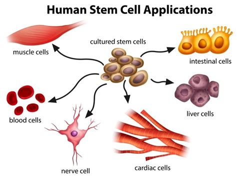 stem cells science of stem cells what are they and what s the