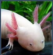 Axolotl Fish with Legs