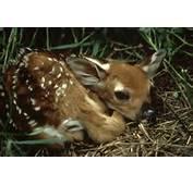 White Tailed Deer  Odocoileus Virginianus Wildlife Journal Junior