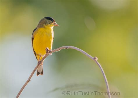 animal fearture american goldfinch by call 0f the wild on