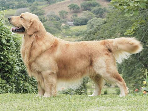 chien golden retriever photo chien golden retriever 1279 wamiz