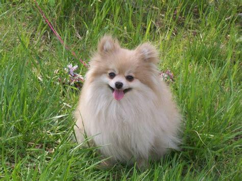 silly pomeranian pet pomeranian puppies its so fluffy