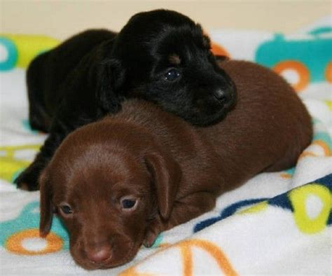 dachshund puppies az miniature dachshund puppies az i m bored d