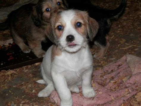 american bulldog shih tzu mix 17 best images about puppy on shih tzu mix american bulldog puppies