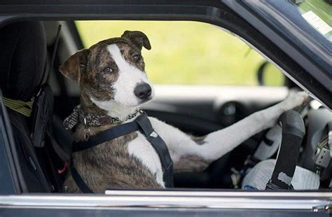 barking mad dogs taught  drive   zealand video