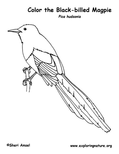 magpie bird coloring page magpie black billed coloring page