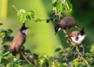 Red whiskered bulbul birds in bangkok thailand wildlife southeast asia
