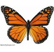 Http//wwwbutterflyutopiacom/BIG/019a Monarch Butterflyjpg