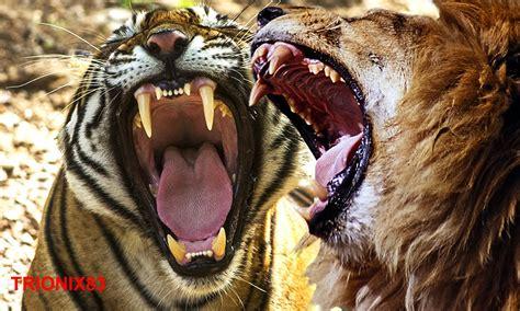 peleas de leones a muerte animales salvajes peleas a muerte video search engine at