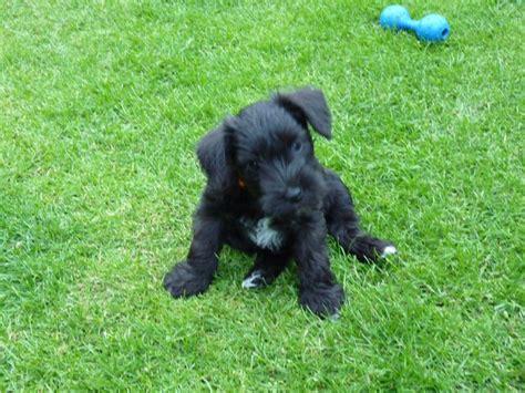 schnauzer puppies colorado adorable miniature schnauzer puppies castleford west pets4homes