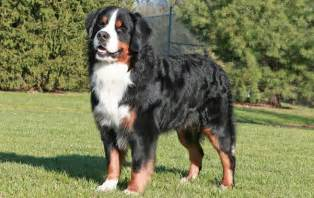 Bernese mountain dog breed information facts and pictures pets