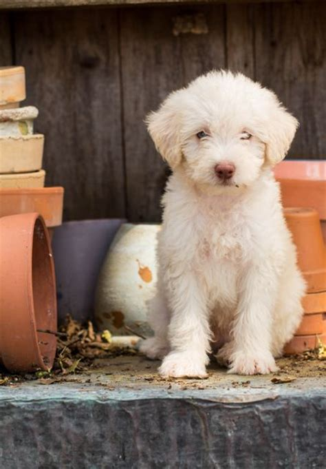 Labradoodle Shed by About Doodles