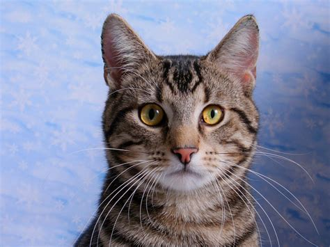 shorthair cat domestic shorthair cat information health pictures