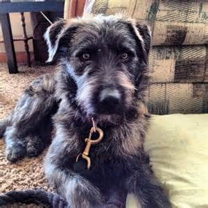 australian shepherd lab mix rescue adopted brindle schnauzer airedale m dob 3 11 12