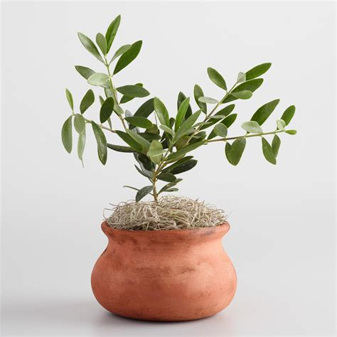 potted live christmas trees in san diego live olive tree in terracotta pot world market