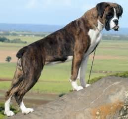 boxer colors boxer breed standards
