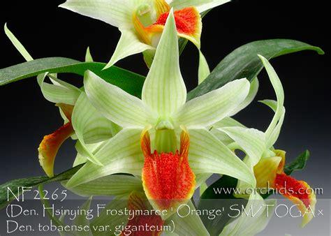 Dendrobium Tobaense den jiaho delight den hsinying frostymaree orange sm