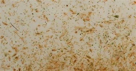 Pakan Burayak Ikan Gurame cara kultur kutu air untuk pakan anak ikan benih atau