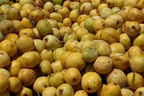 fruit in marula tree aurum africa