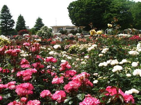 normal  rose garden
