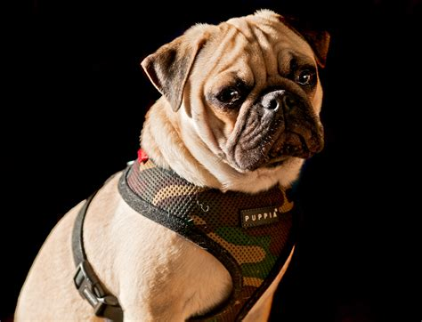 camo pug in my camo harness no one can see me about pug