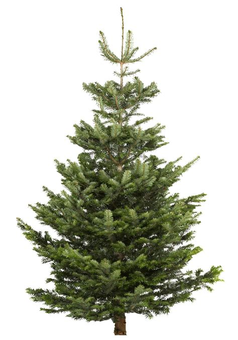 real christmas trees bq large nordman fir real tree departments diy at b q