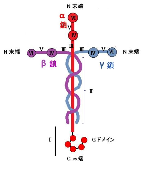 file domain structure of laminin jpg wikimedia commons