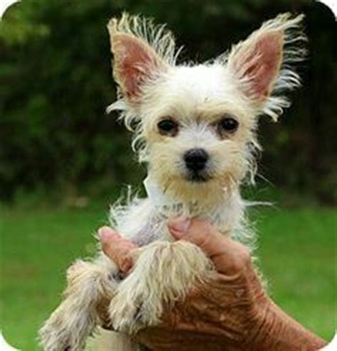 westie and yorkie mix norfolk terrier mix search pet stuff see more best ideas