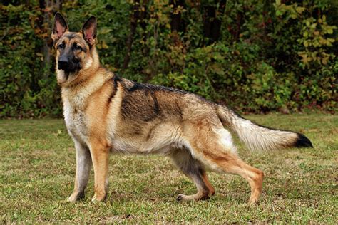 are german shepherds good house dogs german shepherd puppies for sale from reputable dog breeders