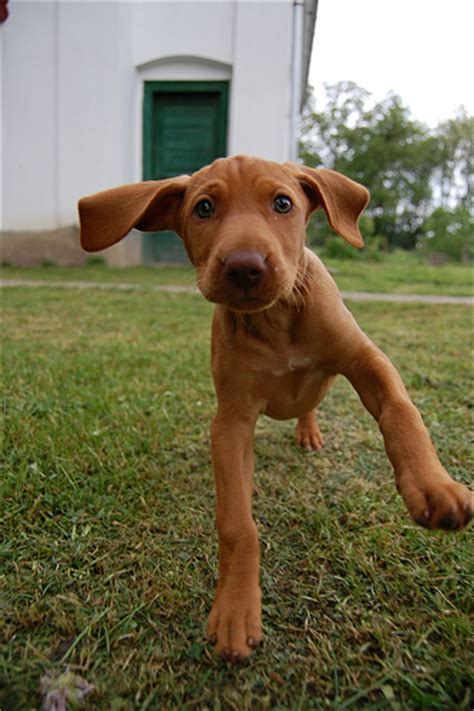 how much are vizsla puppies tips for a vizsla puppy golden puppies
