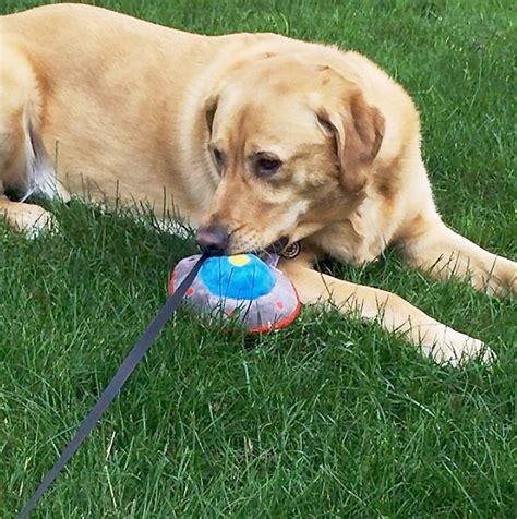 golden retriever lab mix rescue characteristics of a golden retriever lab mix dogs our