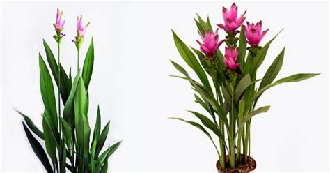 hardest flowers to grow did you know curcuma easy grow in pot hard to kill