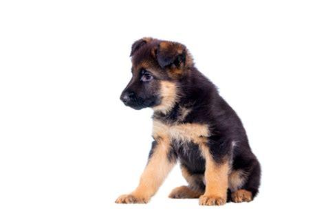 alimentazione cuccioli di cucciolo pastore tedesco alimentazione e svezzamento